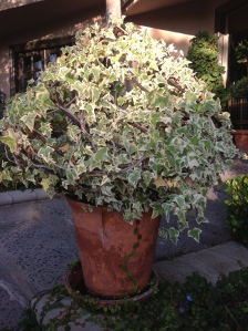 """On this shape, I trained varigated ivy from my daughter Meg's wedding. A very nice """"keepsake."""""""