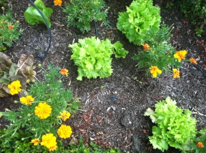 Beth's lettuce & marigolds to protect from bugs.